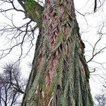 Robinia pseudoacacia bark